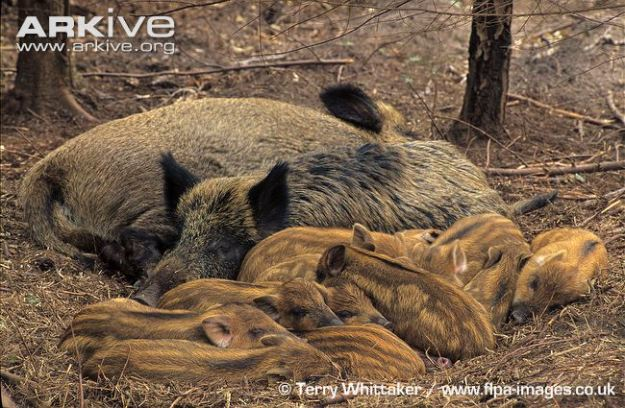 Two-wild-boar-sows-with-a-litter-of-piglets