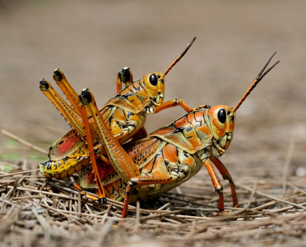 Two_eastern_Lubber_grasshopers_(Romalea_microptera),_mating