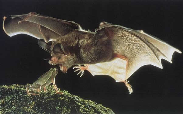 Vampire-Bat attacking prey frog