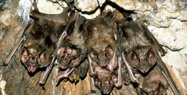 vampire bat colony