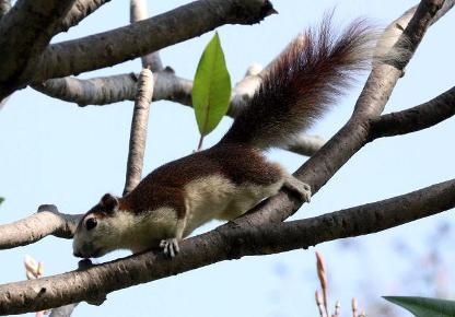 variable squirrel thailand