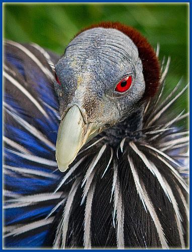 vulturine guinea fowl face