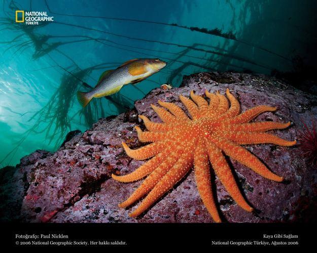 Wallpapers-starfish-national-geographic-ii-1280x1024-253448