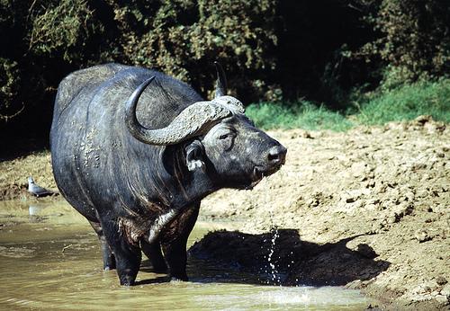 water buffalo wild