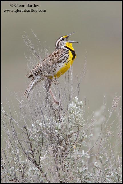 Western Meadowlark - 05