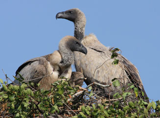 white backed vulture5