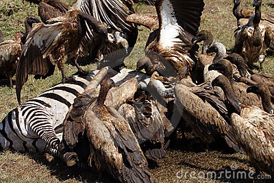 white backed vultures eating prey