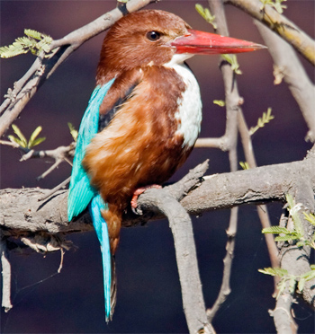 white-breasted-kingfisher-bharatpur-2008