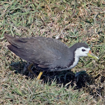 white-breasted-waterhen-bharatpur-2008