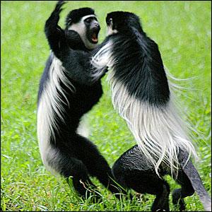 white-colobus-monkeys-uganda-kibale