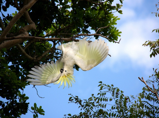 white crested cockatoo in wild