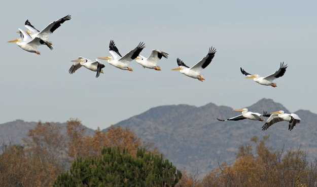 White-Pelicans-flying-2