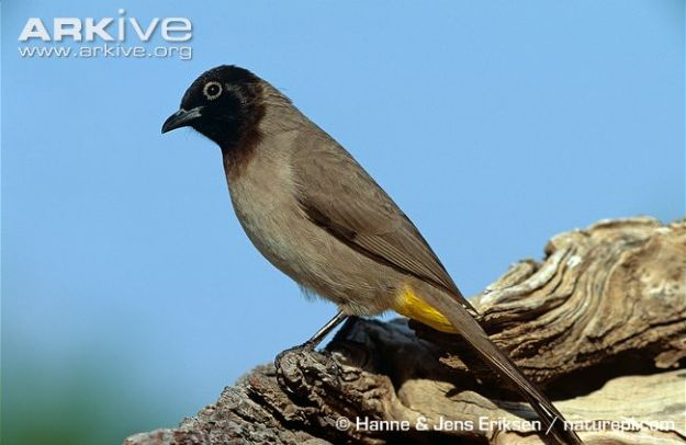 White-spectacled-bulbul--standing-on-a-rock