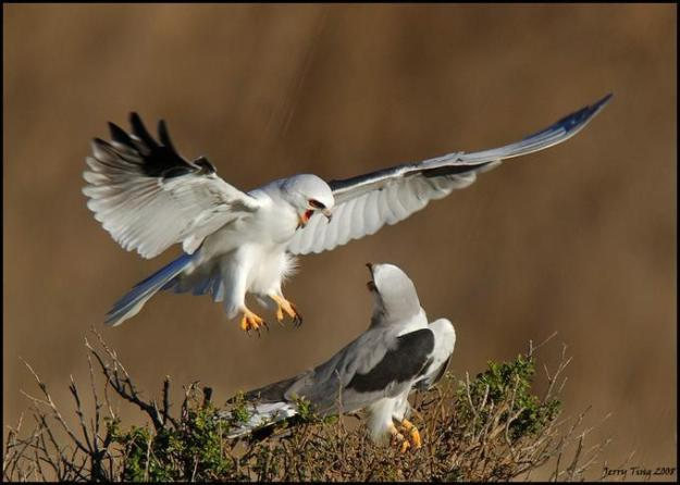 white tailed kite couple