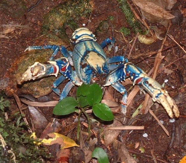 wild blue crayfish