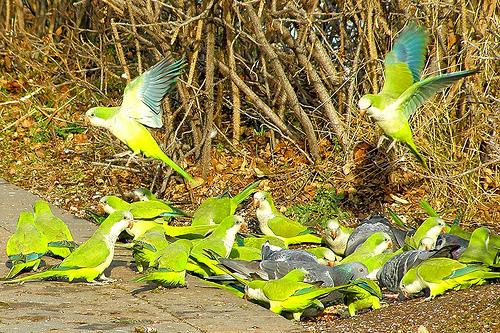 wild_parakeets
