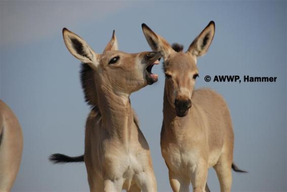 wildass foals