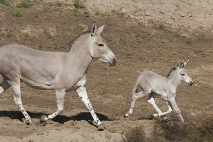 wildass Somali foal