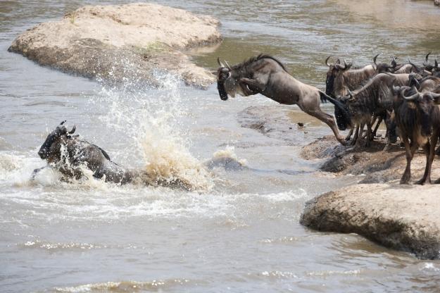 Wildebeest herd crossing the Mara river