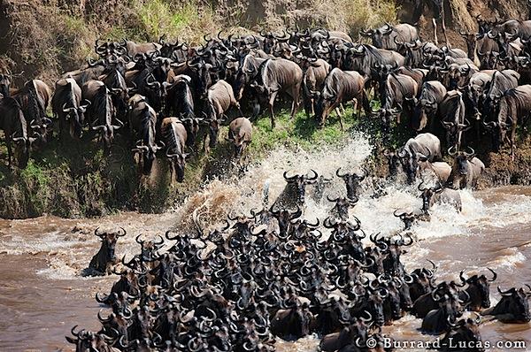 Wildebeest Mayhem