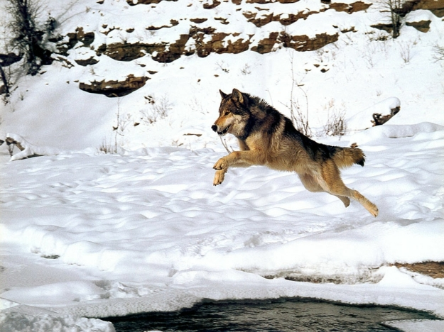 wolf jumping