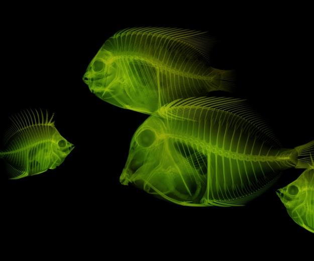 xray fish