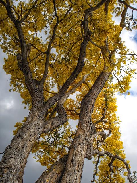 Yellow Leave_DSC07513sm