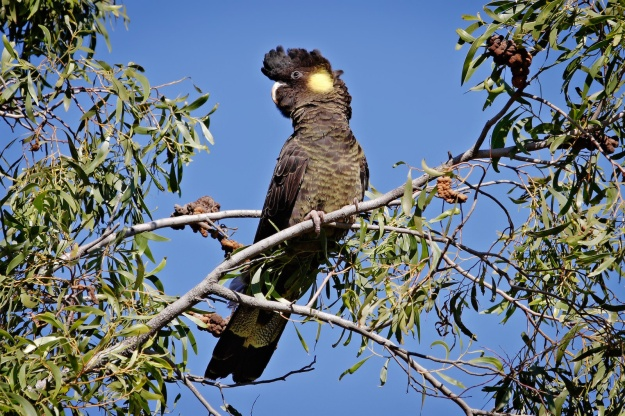 Yellow-tailed_black_cockatoo