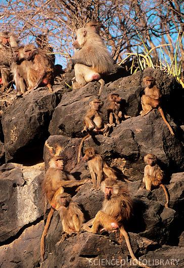 Z9100139-Hamadryas_baboons-SPL