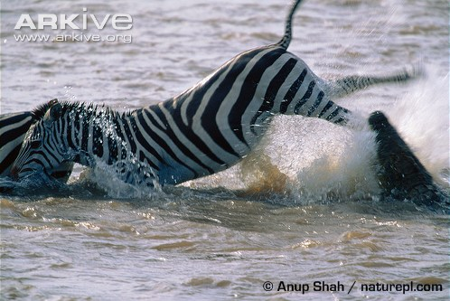 Zebra-kicking-out-at-attacking-Nile-crocodile-