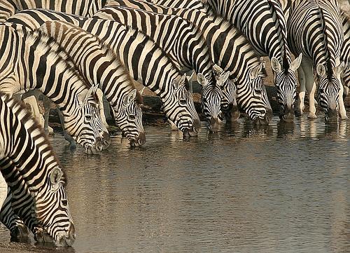 zebras grevy's