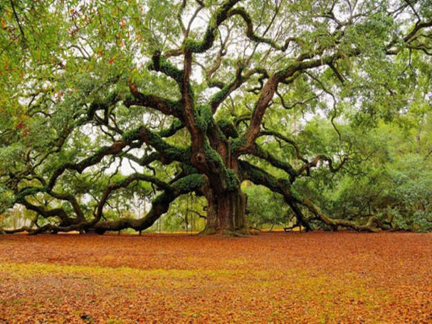 1500-year-old-Angel-Oak-in-Charleston-South-Carolina