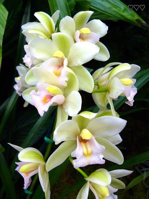 357.  Orchid, Cymbidium, Sleeping Angel