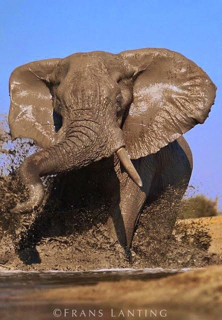 African Elephant Bull Charging, Chobe National Park, Botswana by Frans Lanting