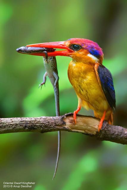 Anup-Deodhar-Oriental-Dwarf-Kingfisher