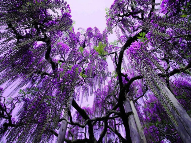 Ashikaga-Flower-Park-Japan