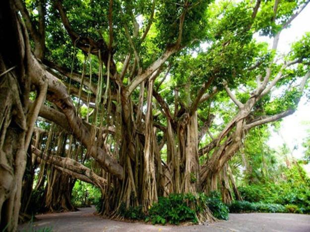 Banyan-tree-Cypress-Gardens-FL