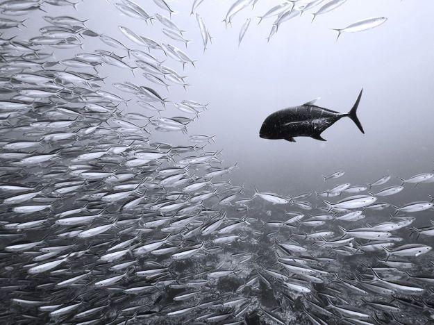 black-trevally-sardines_63778_990x742
