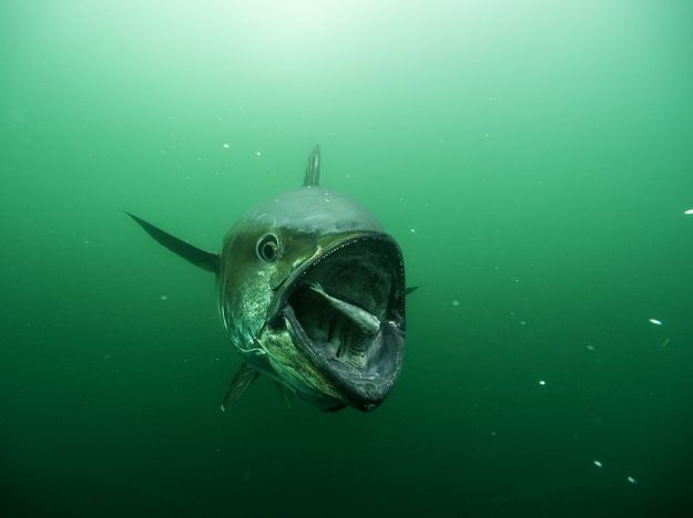 bluefin-tuna-feeding-skerry_77066_990x742
