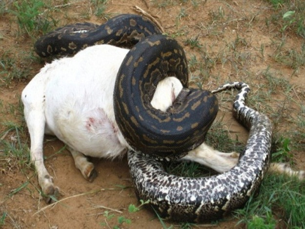 constrictor-eating-goat