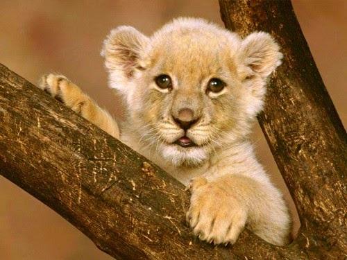 cute-lion-cub-lion-cubs-37492142-500-375