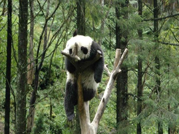 Cute-pandas-Microsoft-Surface-RT-wallpapers-1366x768-11