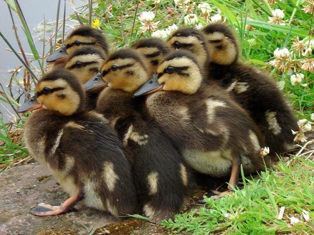 duckling-spring-11