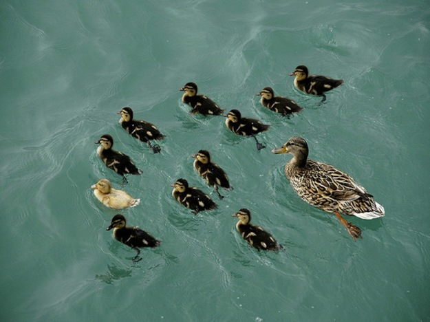 duckling-spring-20