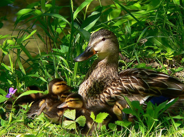 duckling-spring-27