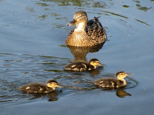 duckling-spring-31