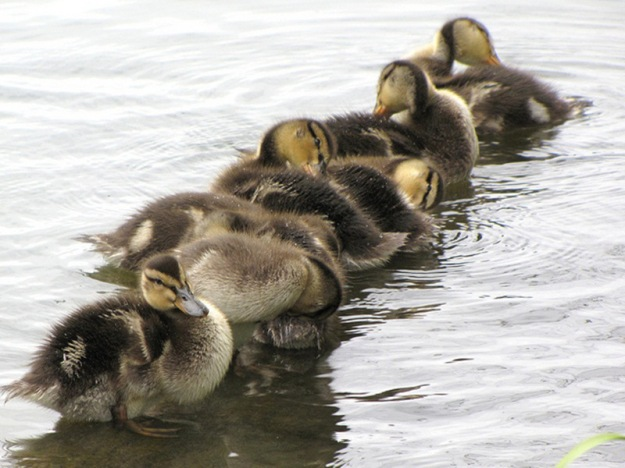duckling-spring-6