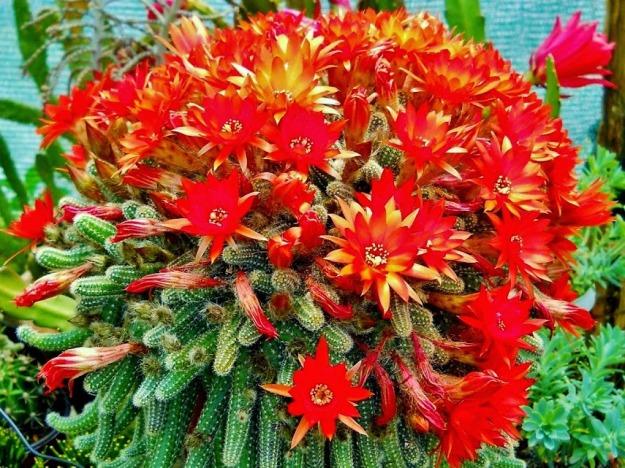Echinopsis-chamaecereus-Buds-and-Flowers