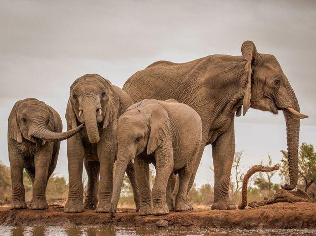 elephant-herd-mashatu-botswana_80559_990x742