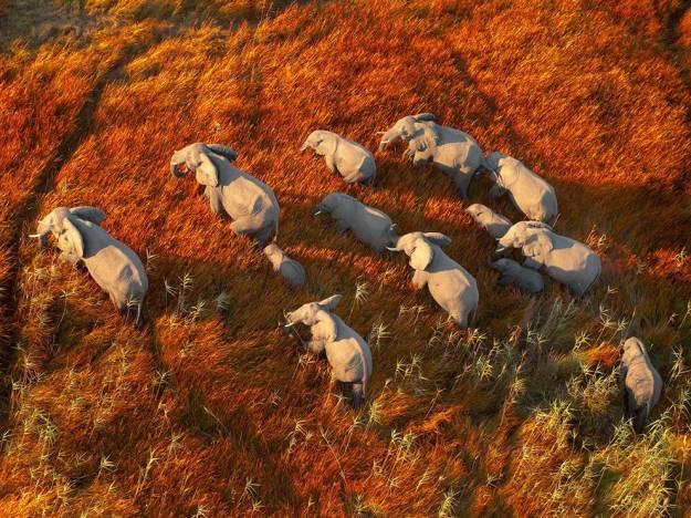 elephant-herd-okavango-botswana_81114_990x742